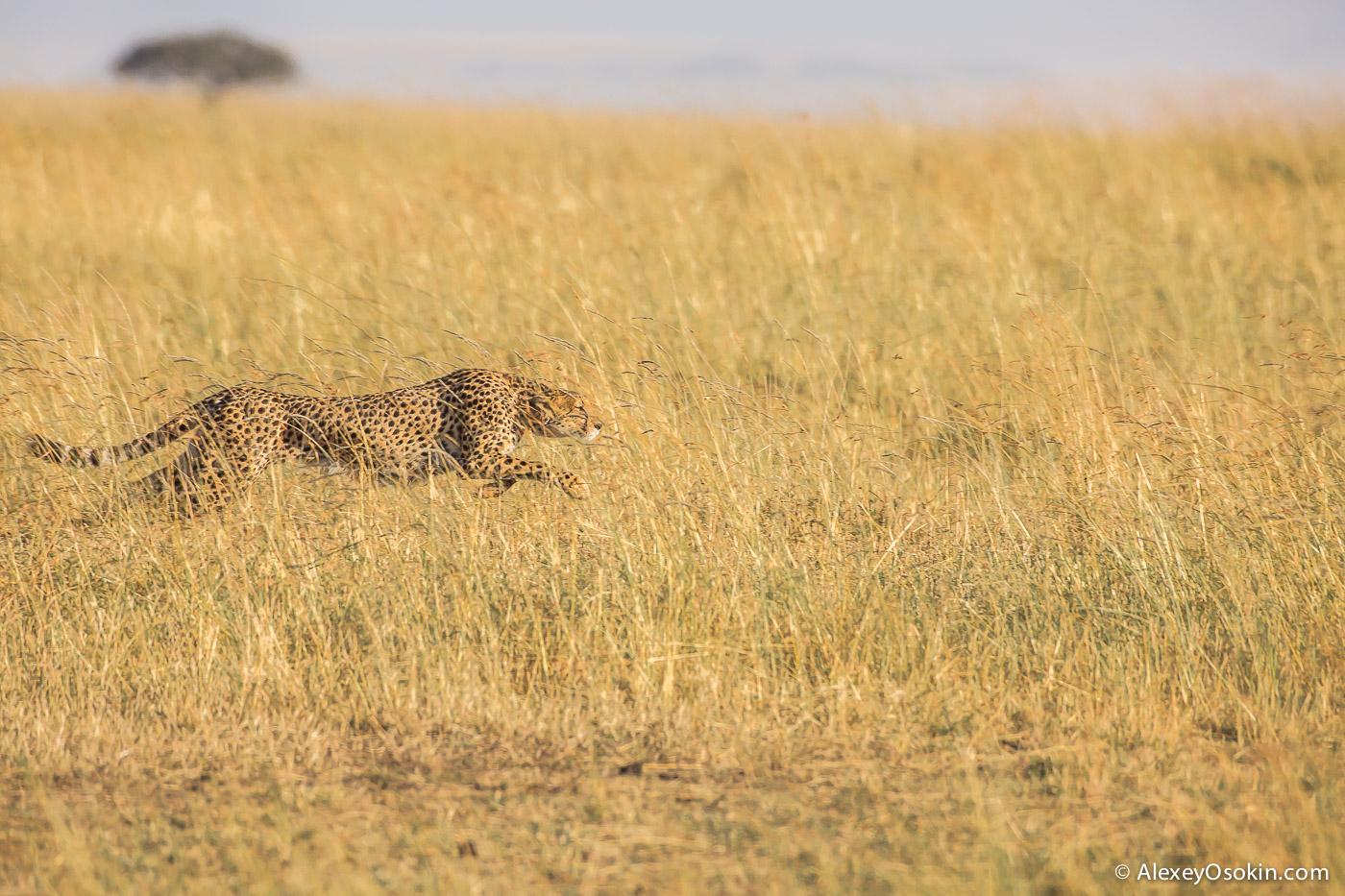 cheetahs 06