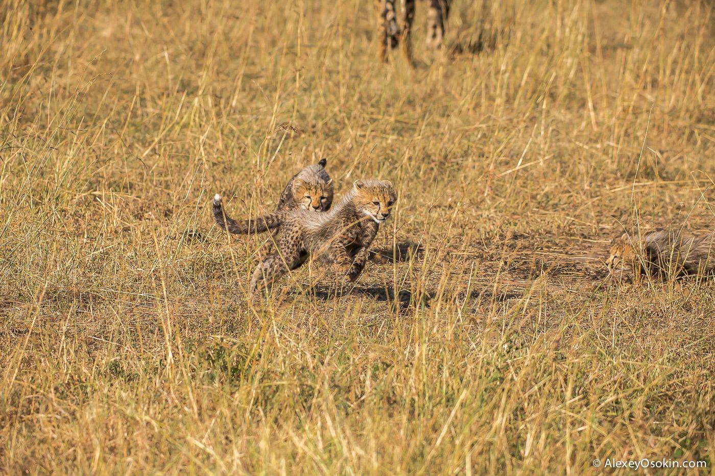 cheetahs 12