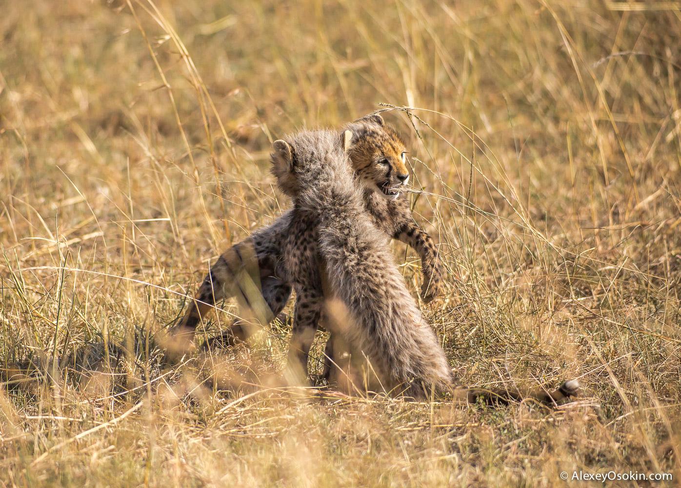 cheetahs 16