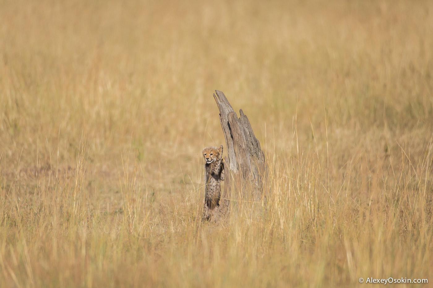 cheetahs 17