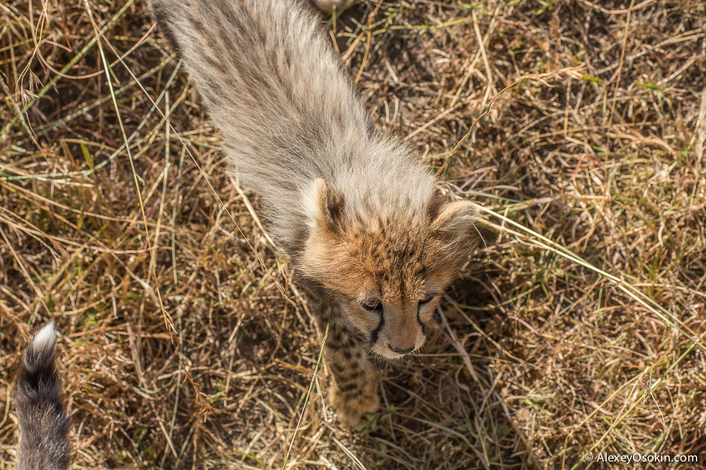 cheetahs 18