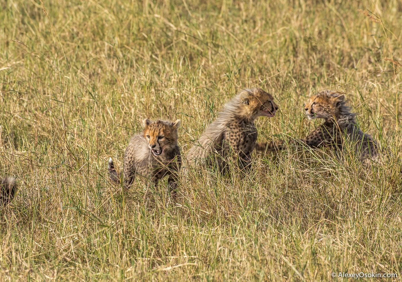 cheetahs 21