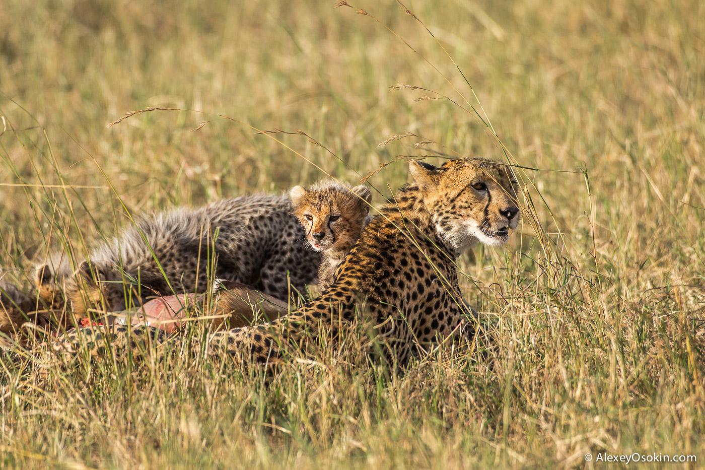 cheetahs 22