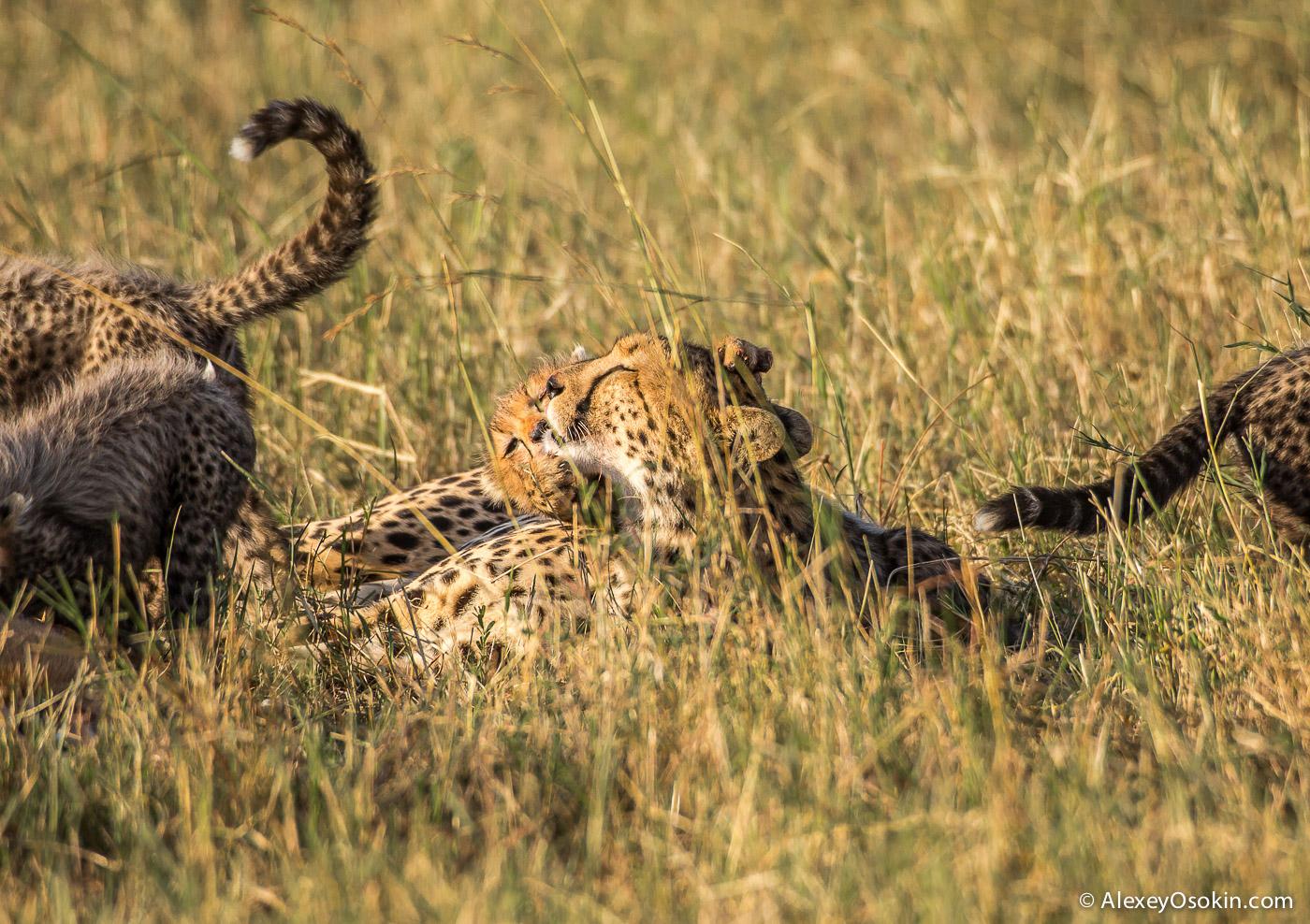cheetahs 23