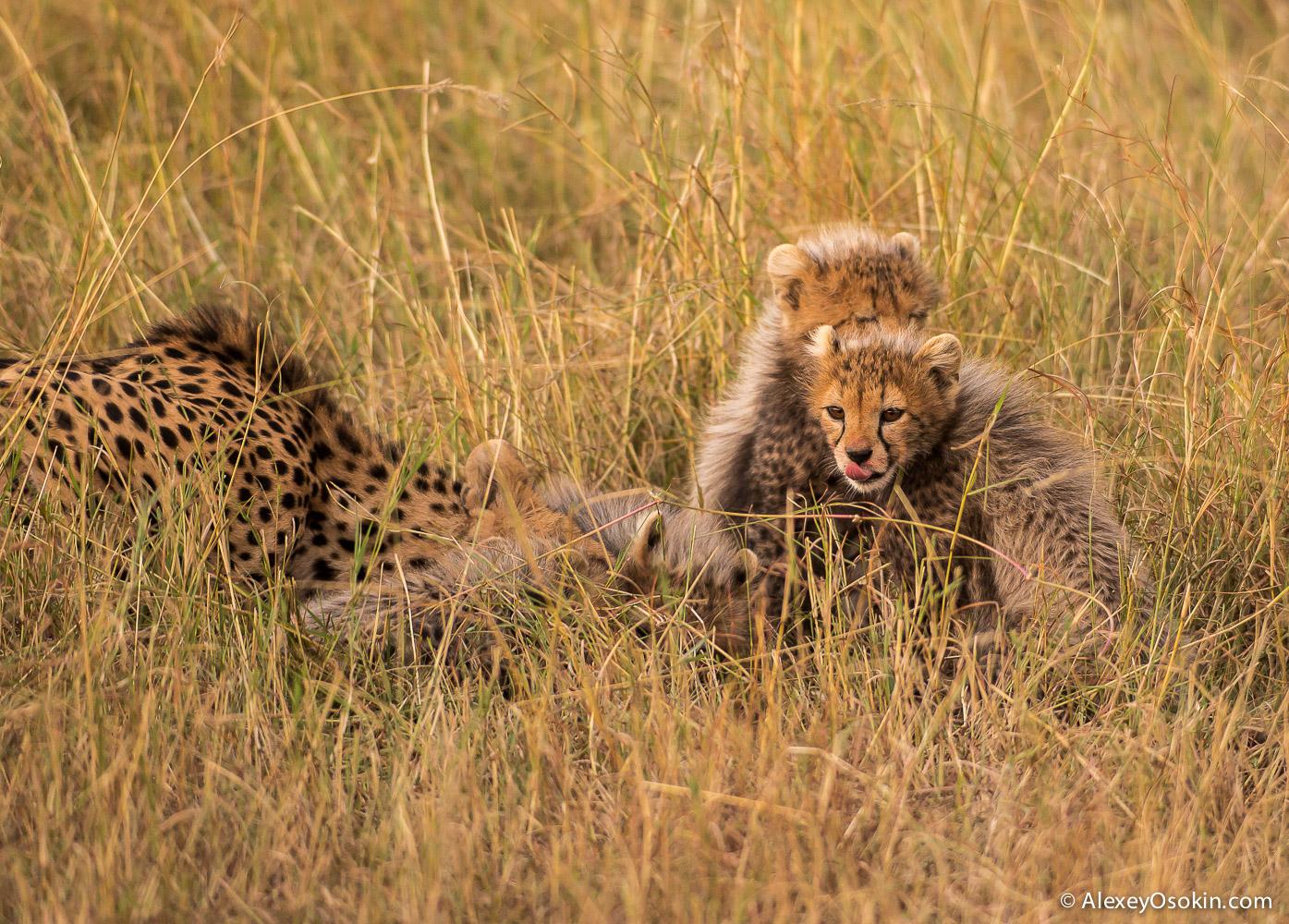 cheetahs 24