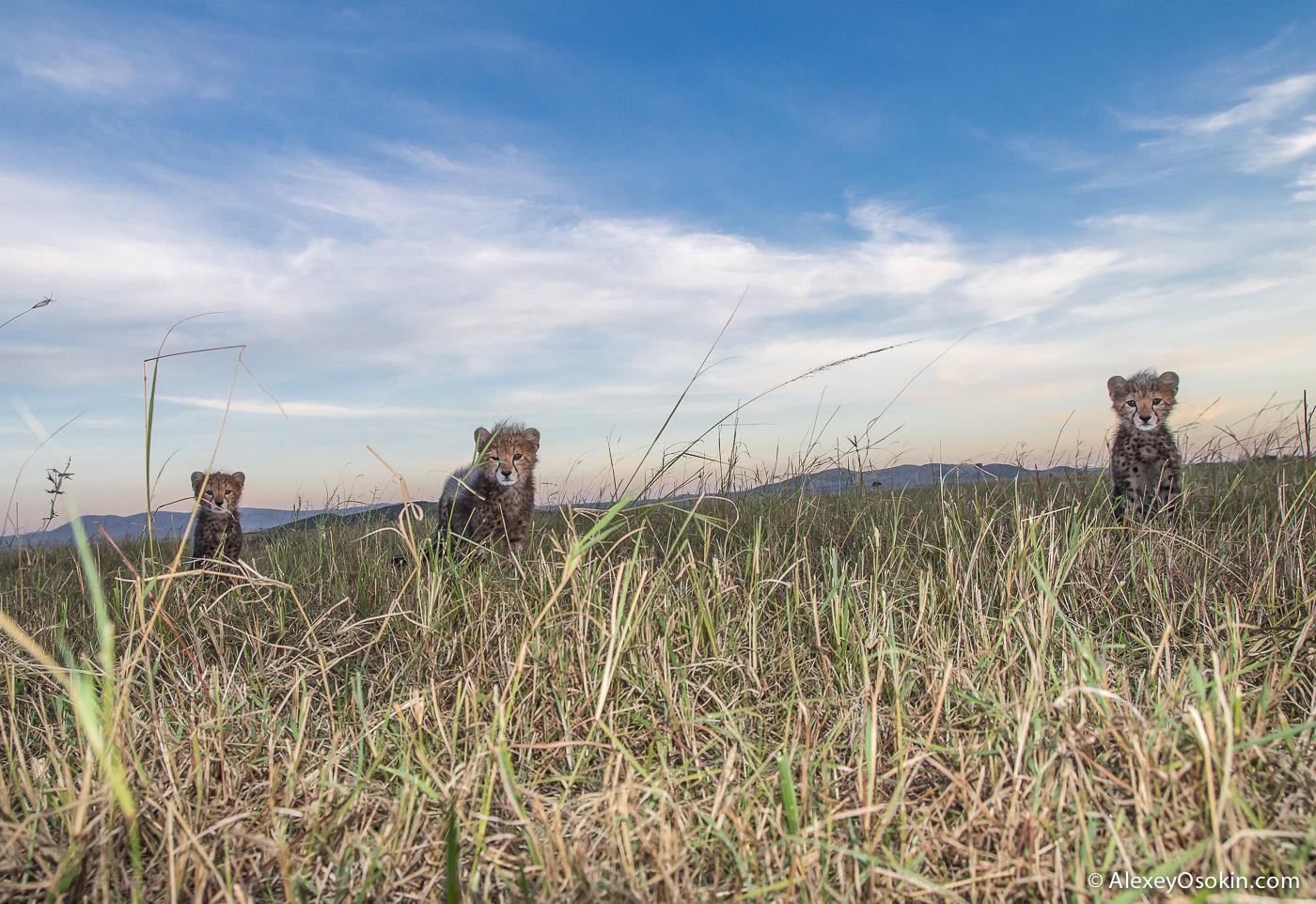 cheetahs 29