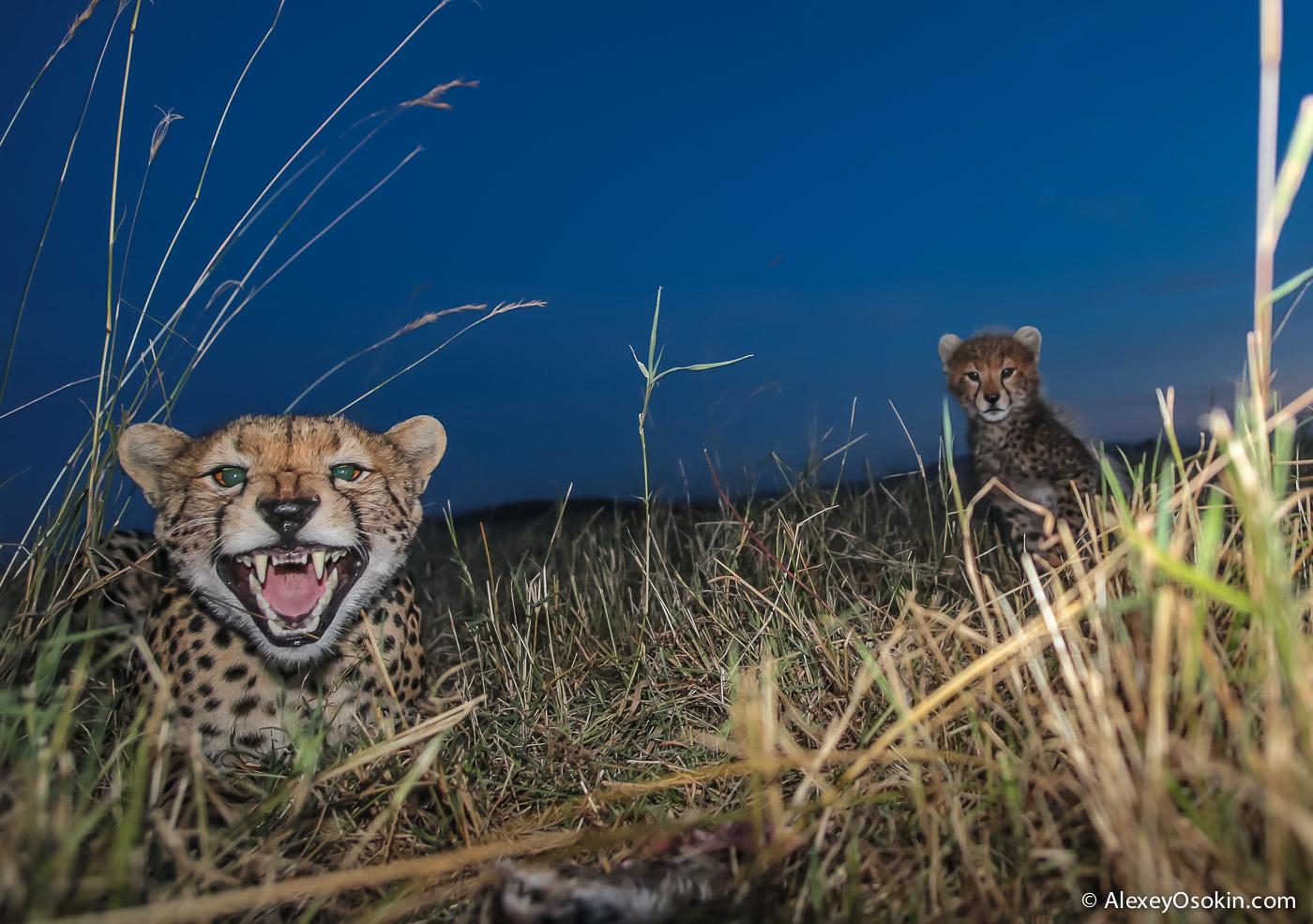 cheetahs 32