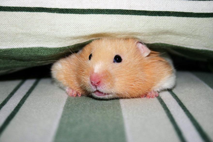cute-hamsters-20__880