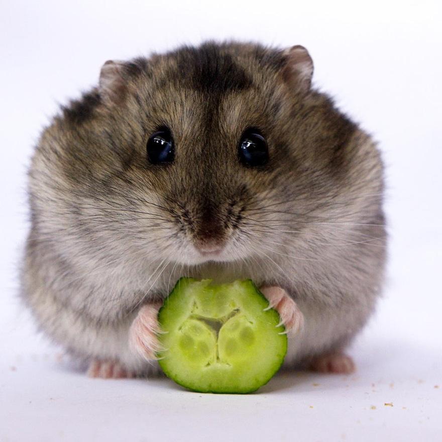 cute-hamsters-212__880