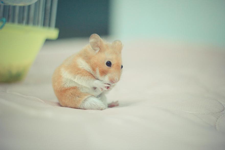 cute-hamsters-25__880