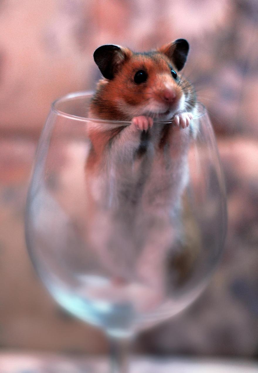 cute-hamsters-30__880