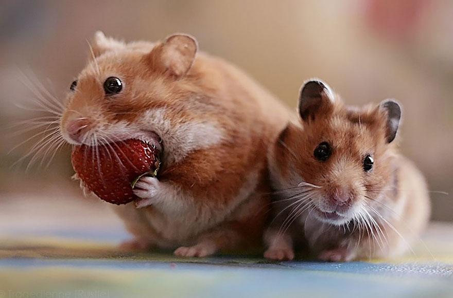 cute-hamsters-53__880