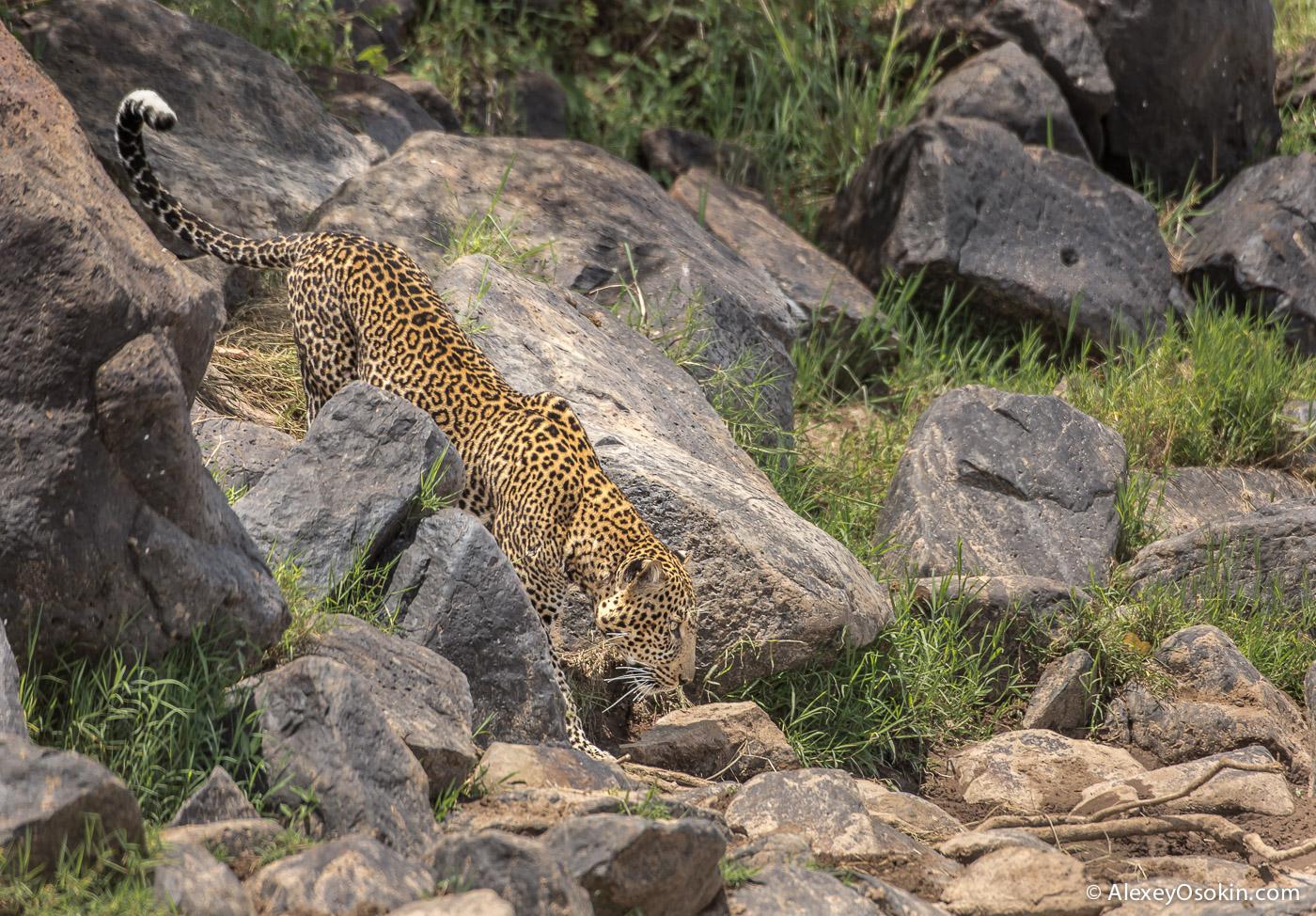 leopard 02