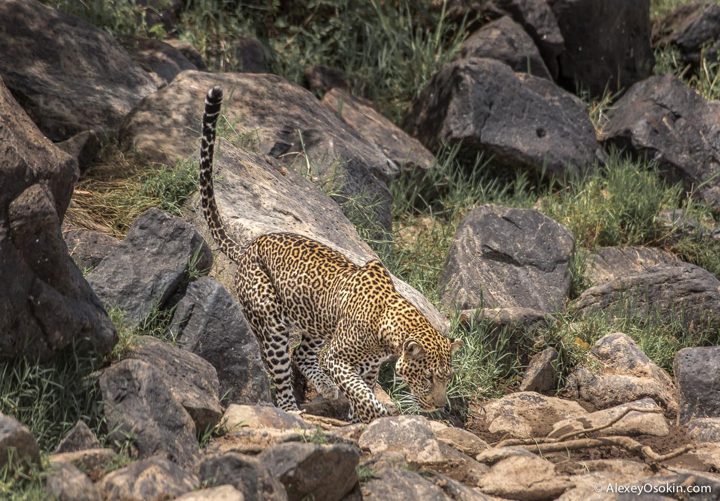 leopard 04