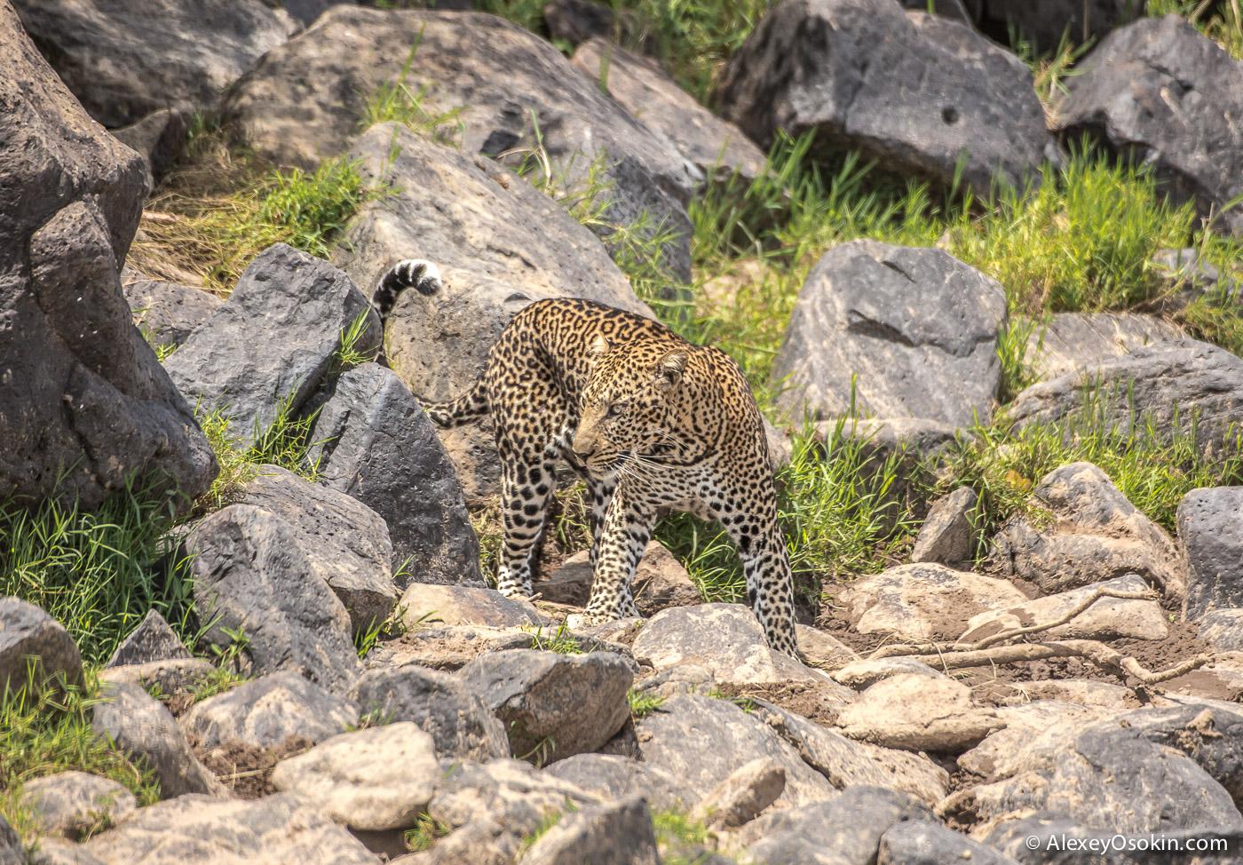 leopard 08