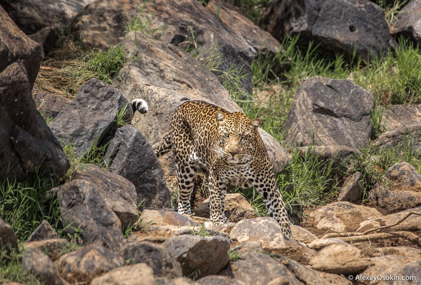 leopard 09