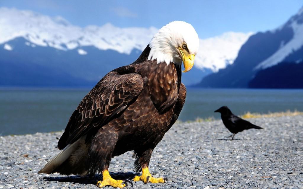 Наглючий ворон оседлал орла и прокатился