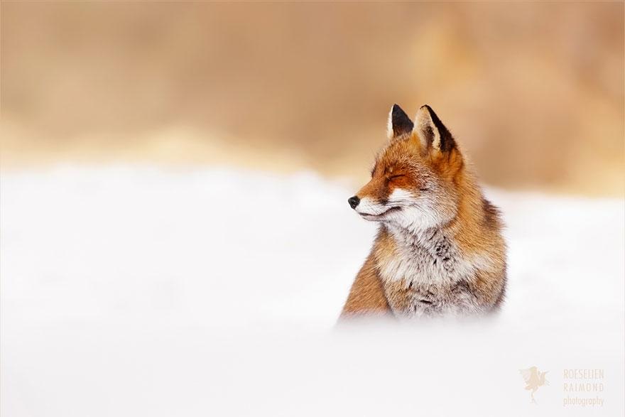 zen-foxes-roeselien-raimond-10__880