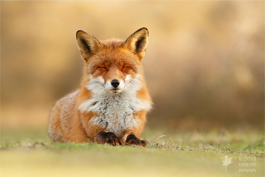 zen-foxes-roeselien-raimond-13__880