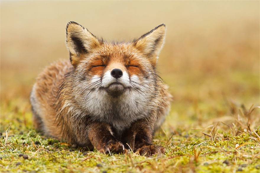 Лисы Дзен: фотографии диких лисиц в моменты наслаждения