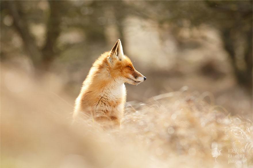 zen-foxes-roeselien-raimond-8__880