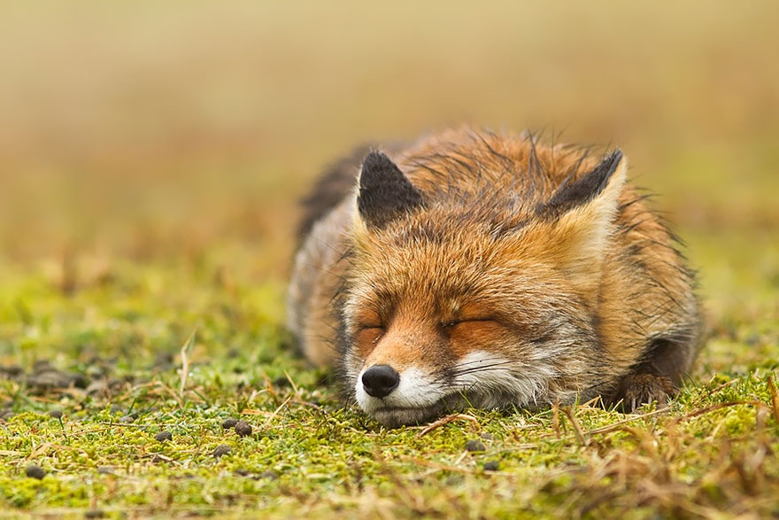 zen-foxes-roeselien-raimond-9__880