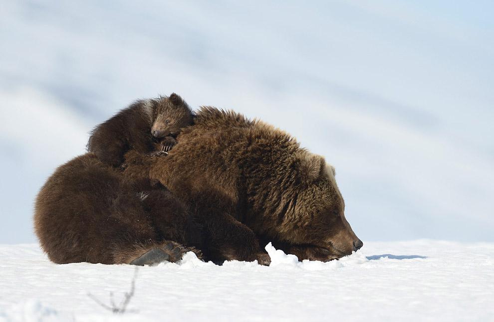 Bear family 04