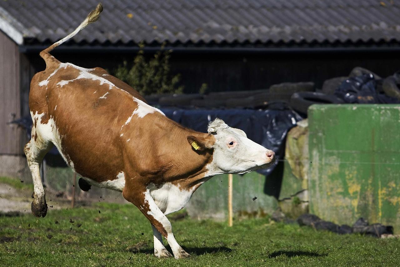 Cows_02