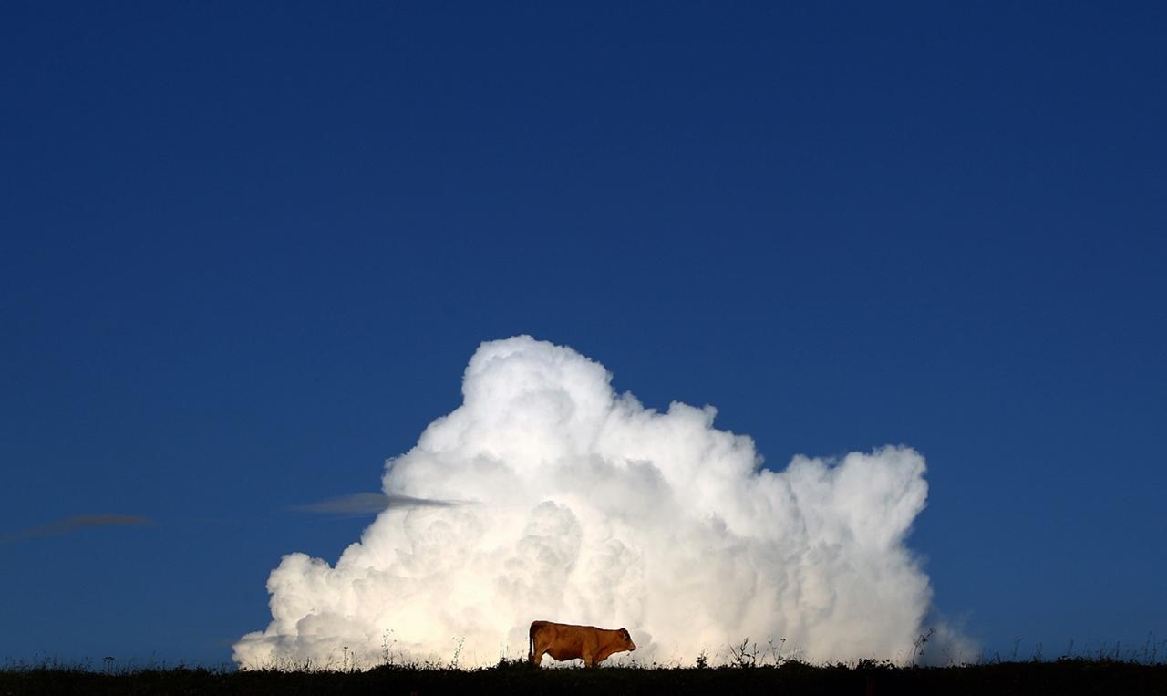Cows_03
