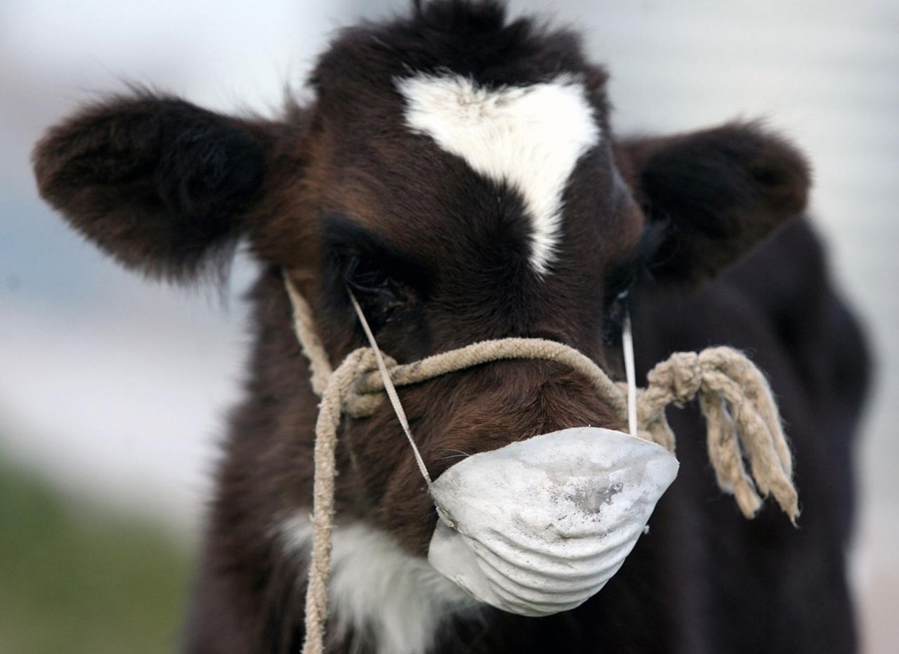 Cows_04
