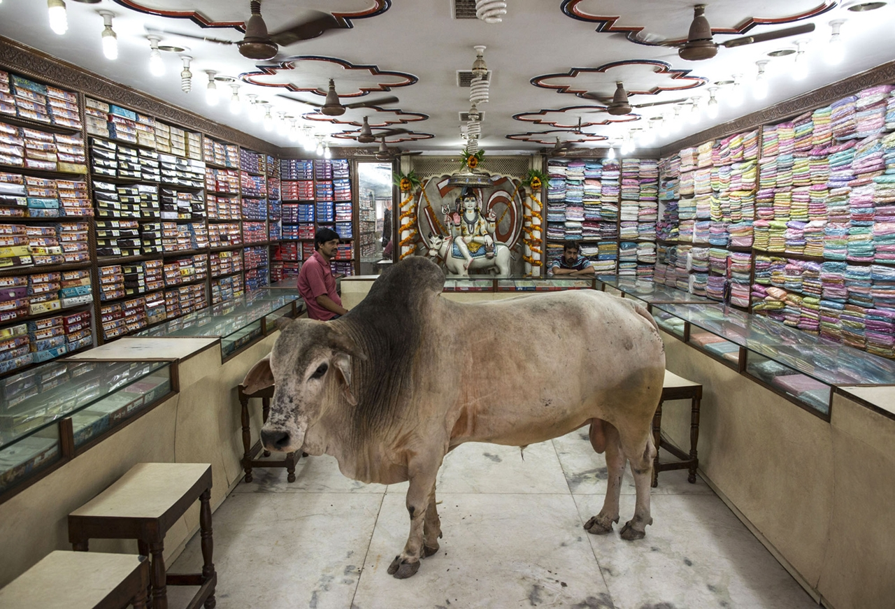 Cows_05