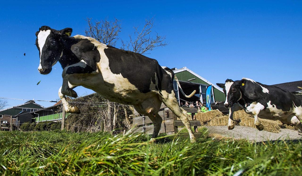 Cows_07