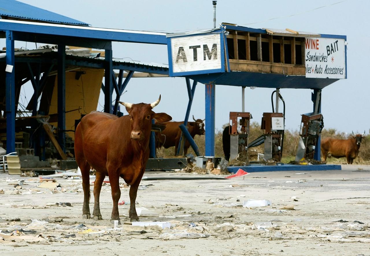 Cows_10