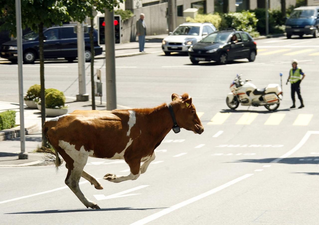 Cows_12