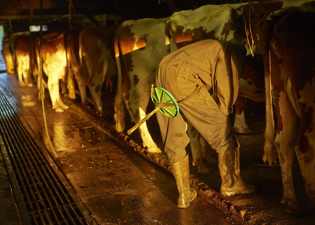 Cows_15