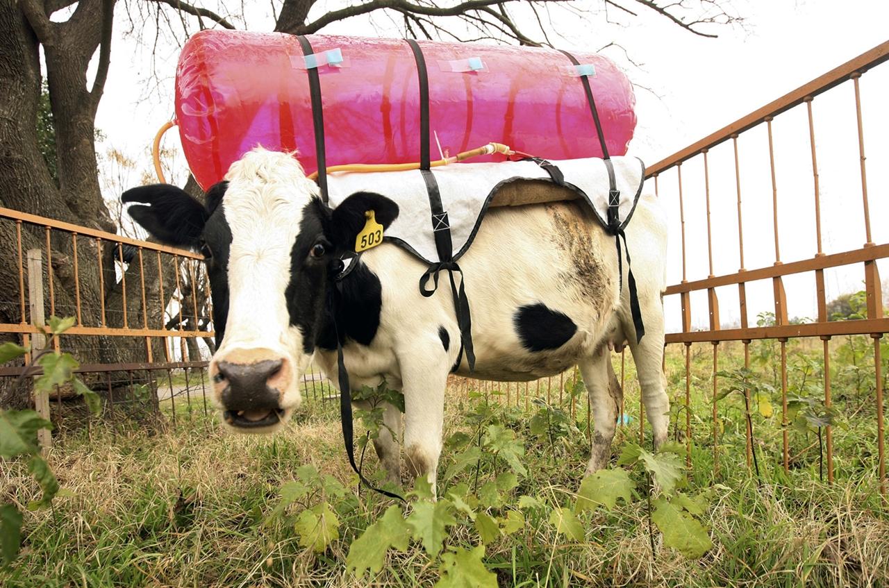 Cows_17