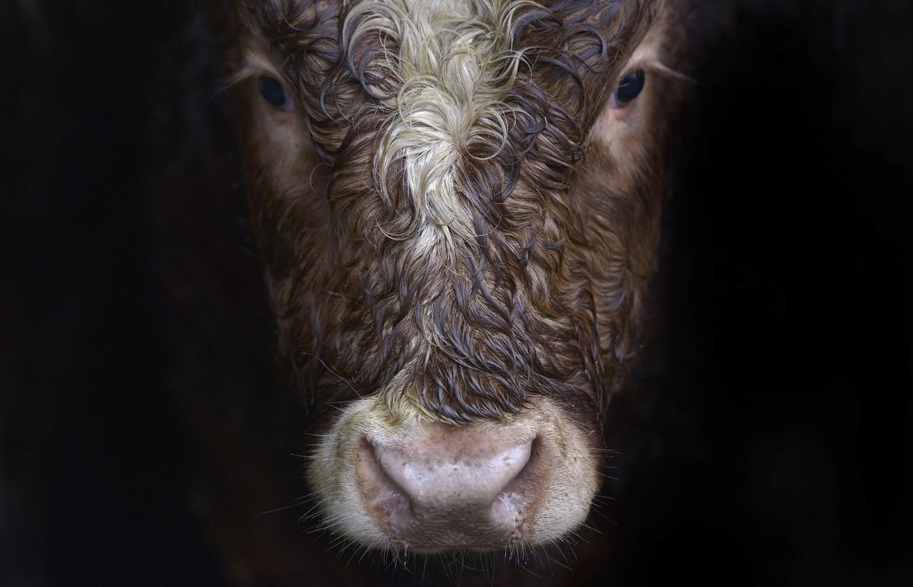 Cows_19