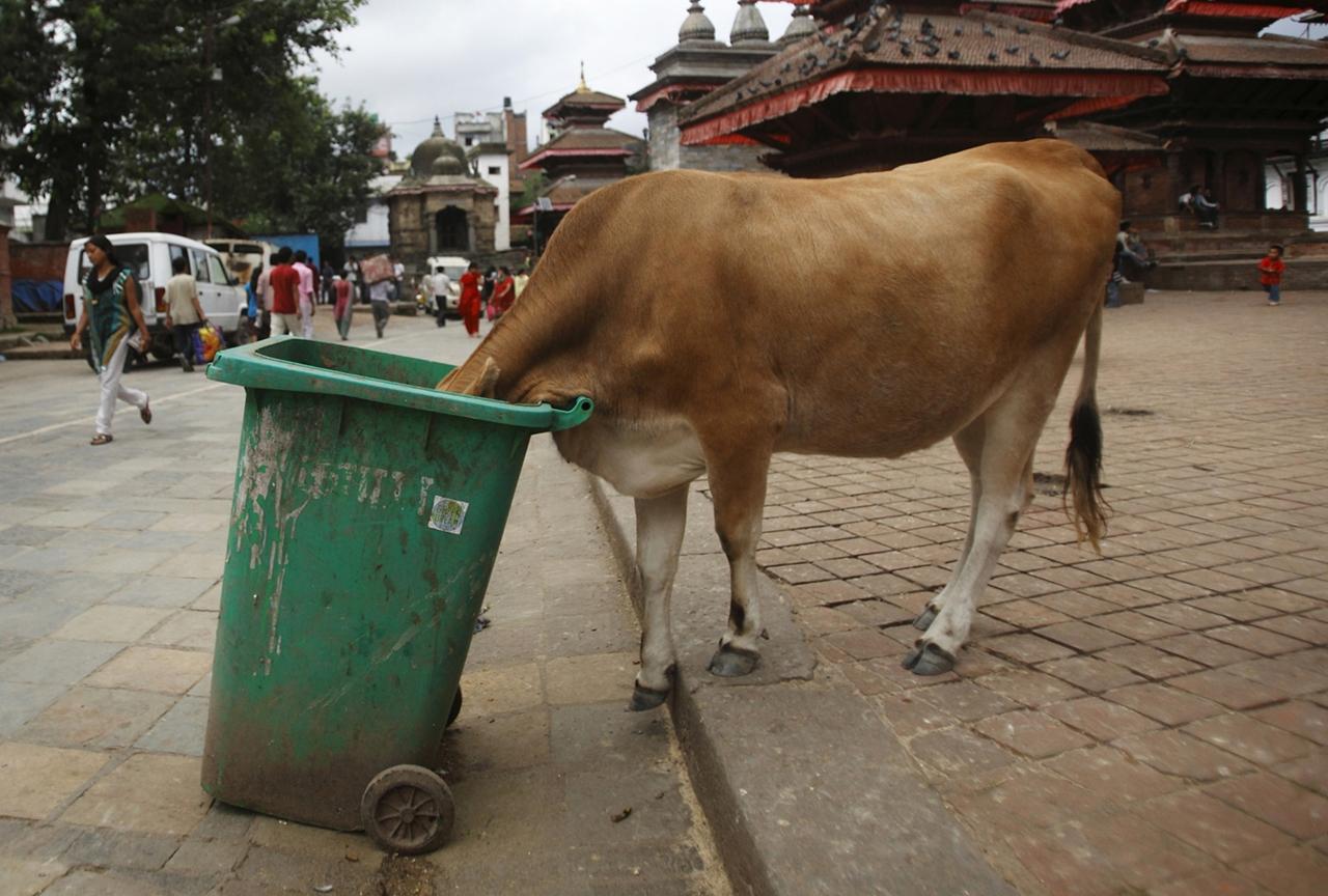 Cows_23