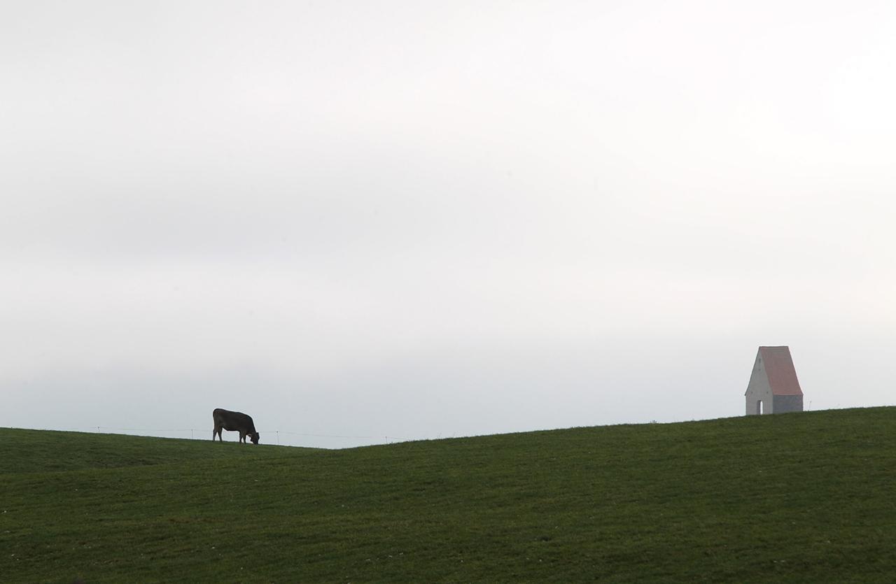 Cows_26