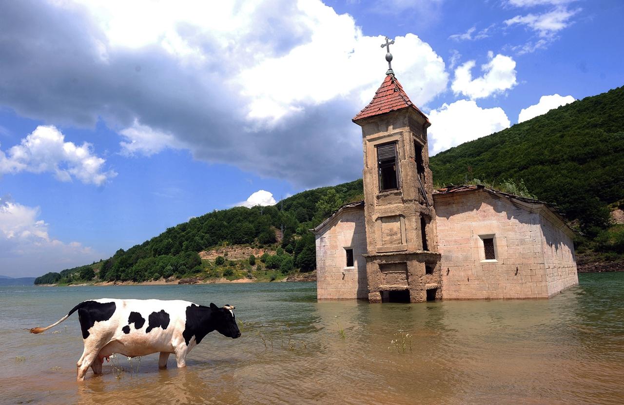 Cows_27