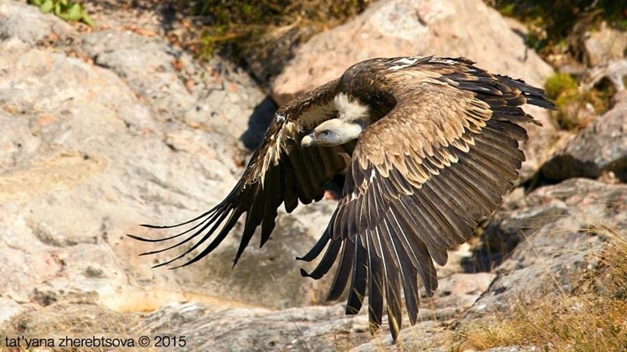Crimean vultures 01