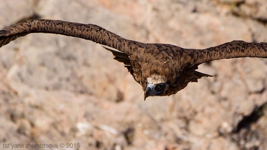 Crimean vultures 03