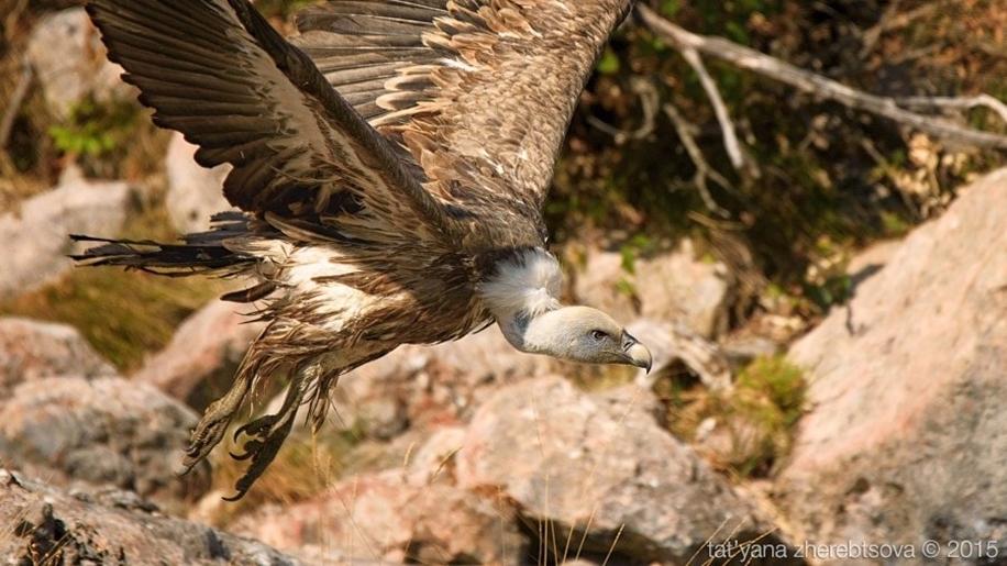 Crimean vultures 04