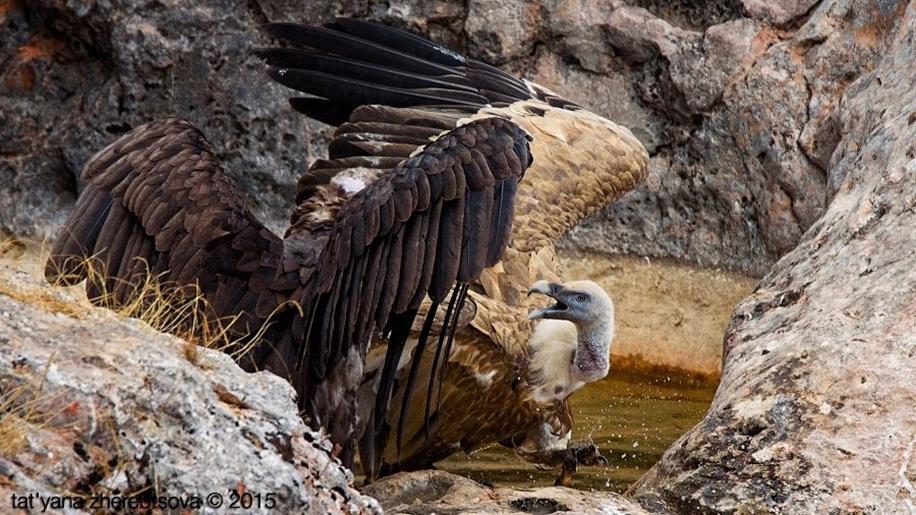 Crimean vultures 07