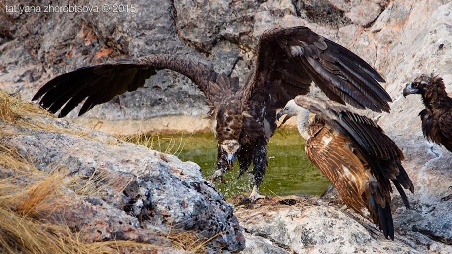 Crimean vultures 08