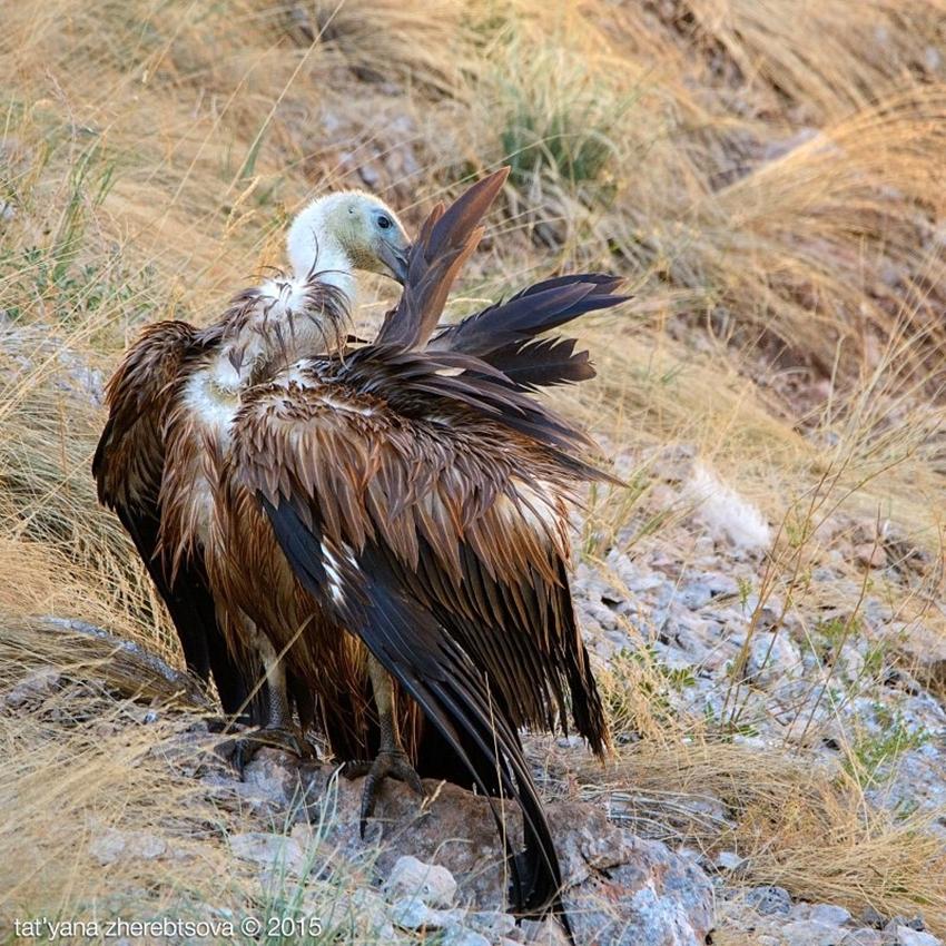 Crimean vultures 11