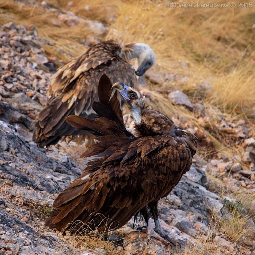 Crimean vultures 12