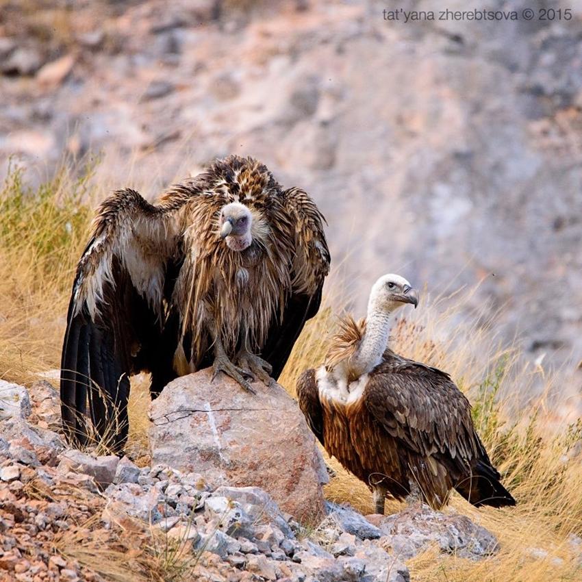 Crimean vultures 13