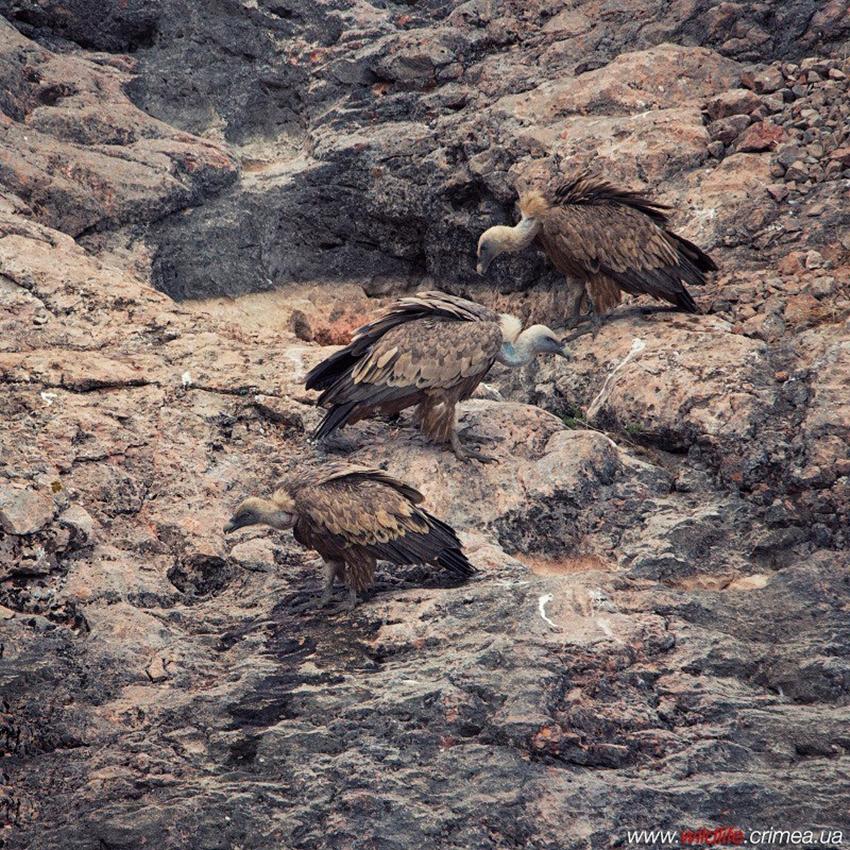 Crimean vultures 14