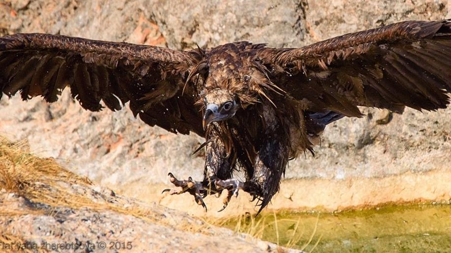 Crimean vultures 15